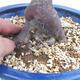 Venkovní bonsai - Javor dlanitolistý - Acer palmatum DESHOJO - 3/3