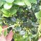 Izbová bonsai - Ilex crenata - Cezmína - 3/3