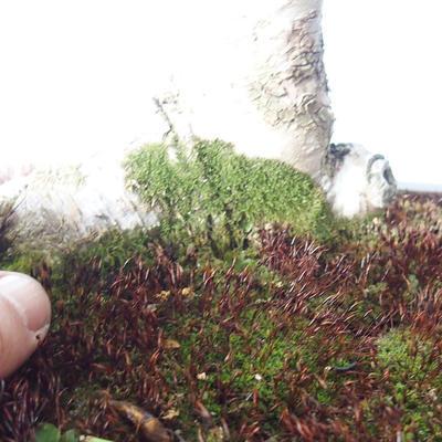 Venkovní bonsai - Zelkova - 3
