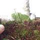 Venkovní bonsai - Zelkova - 3/5
