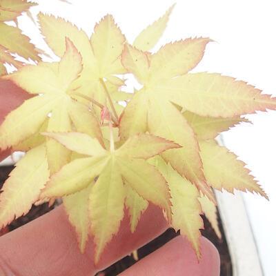 Venkovní bonsai - Acer pal. Sango Kaku - Javor dlanitolistý - 3