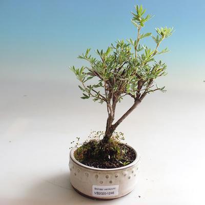 Venkovní bonsai-Mochna křovitá - Dasiphora fruticosa žlutá - 3