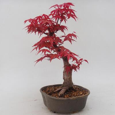 Vonkajšie bonsai - Javor palmatum DESHOJO - Javor dlaňolistý - 3