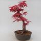 Vonkajšie bonsai - Javor palmatum DESHOJO - Javor dlaňolistý - 3/5