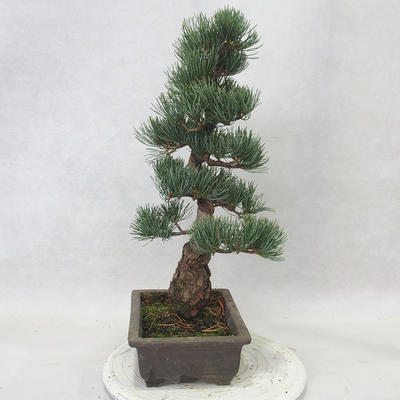 Venkovní bonsai - Pinus parviflora - Borovice drobnokvětá - 3