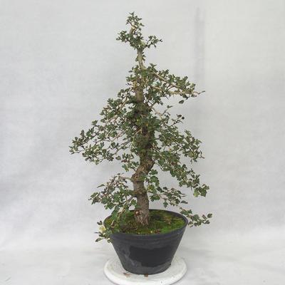 Venkovní bonsai - Hloh růžové květy - Crataegus laevigata paul´s  Scarlet - 3