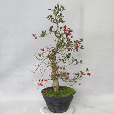 Venkovní bonsai - Hloh bílé květy - Crataegus laevigata - 3