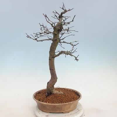 Venkovní bonsai - Hloh jednosemený - 3