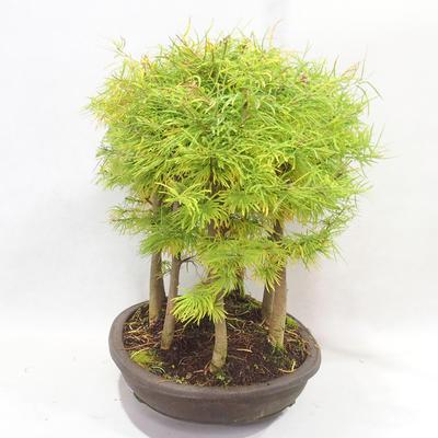 Venkovní bonsai - Pseudolarix amabilis - Pamodřín - lesík 9 stromů - 3