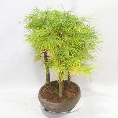 Venkovní bonsai - Pseudolarix amabilis - Pamodřín - lesík 5 stromů - 3