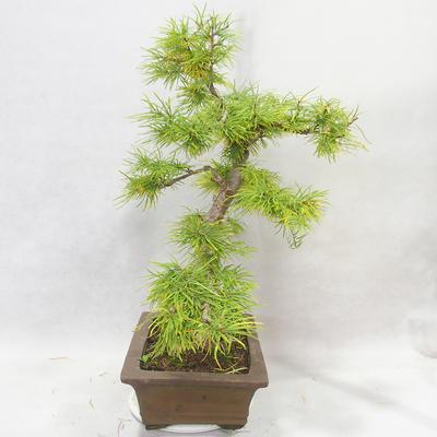 Venkovní bonsai - Pseudolarix amabilis - Pamodřín - 3
