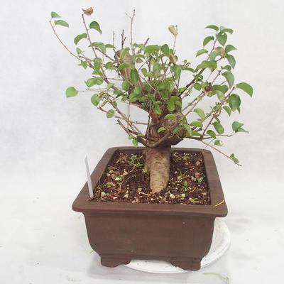 Vonkajšie bonsai -Mahalebka - Prunus mahaleb - 3