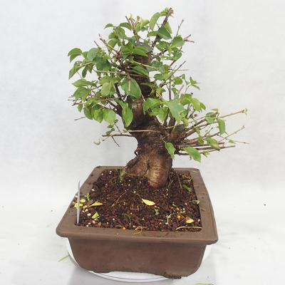 Venkovní bonsai -Mahalebka - Prunus mahaleb - 3