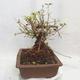 Venkovní bonsai -Mahalebka - Prunus mahaleb - 3/5