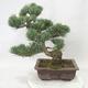 Venkovní bonsai - Pinus parviflora - Borovice drobnokvětá - 3/5
