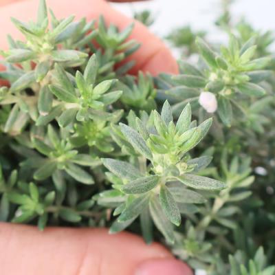 Pokojová bonsai -Westrigea sp. - Westringie - 3