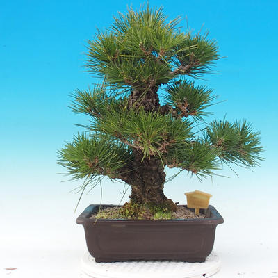Vonkajšie bonsai - Pinus thunbergii - Borovica thunbergova - 3