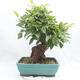 Vonkajší bonsai -Malus halliana - Maloplodé jabloň - 3/6