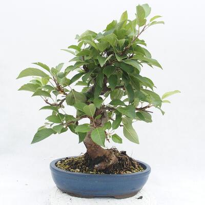 Vonkajší bonsai -Malus halliana - Maloplodé jabloň - 3