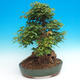 Vonkajšie bonsai - Javor Buergerianum - Javor Burgerův - 3/6
