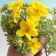 Venkovní bonsai-Mochna křovitá - Dasiphora fruticosa žlutá - 3/3