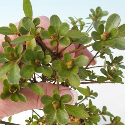 Venkovní bonsai - Rhododendron sp. - Azalka růžová - 3