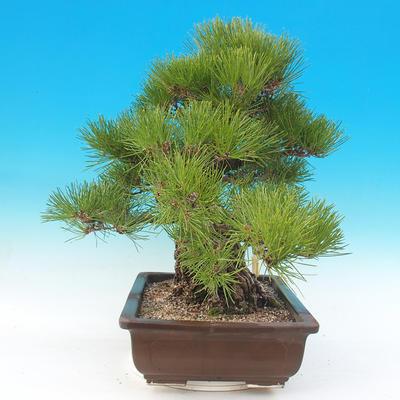 Venkovní bonsai - Pinus thunbergii - Borovice thunbergova - 3