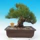 Venkovní bonsai - Pinus thunbergii - Borovice thunbergova - 3/5
