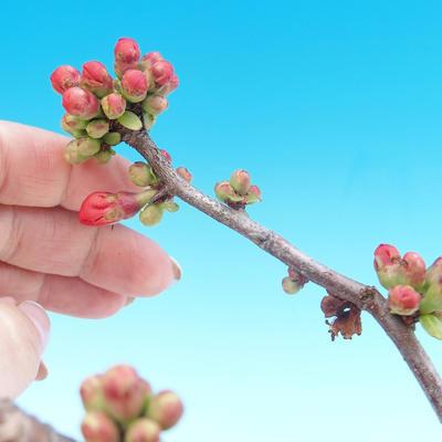 Venkovní bonsai - Chaneomeles japonica - Kdoulovec japonský - 3