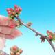 Venkovní bonsai - Chaneomeles japonica - Kdoulovec japonský - 2/3