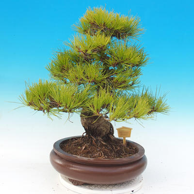 Venkovní bonsai - Pinus densiflora - borovice červená - 3