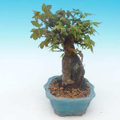 Shohin - Javor-Acer burgerianum na skale - 3