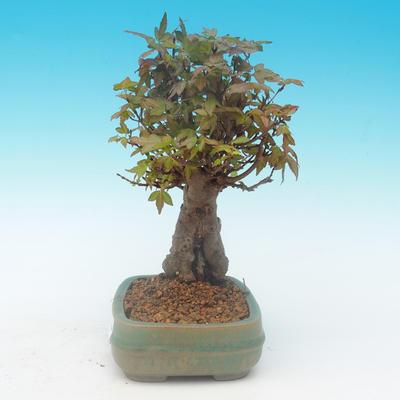 Shohin - Javor-Acer burgerianum na skále - 3
