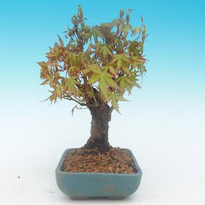 Shohin - Javor-Acer palmatum - 3