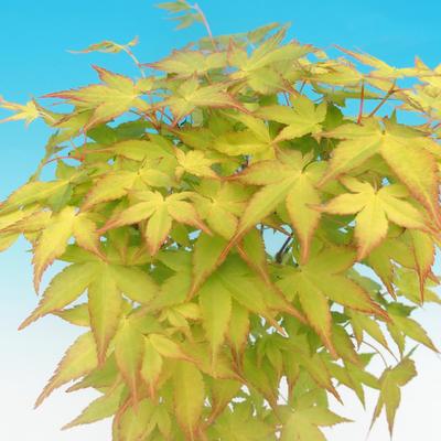 Acer palmatum aureum - Javor dlaňolistý zlatý - 3