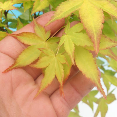 Acer palmatum Aureum - Javor dlanitolistý zlatý - 3