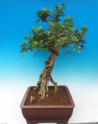Izbová bonsai- Muraya paniculata - 3