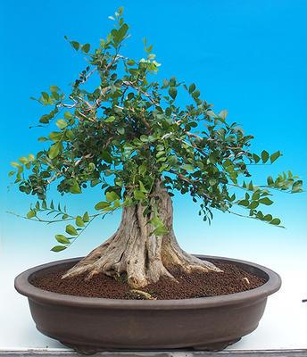 Pokojová bonsai - Muraya paniculata - 3