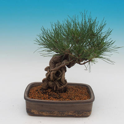 Pinus thunbergii - borovica thunbergova - 3
