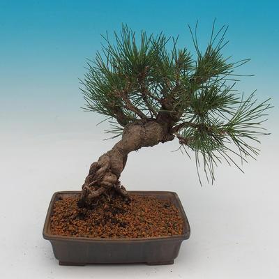 Pinus thunbergii - Borovice thunbergova - 3