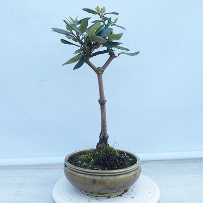 Izbová bonsai - Buxus harlandii - korkový buxus - 3