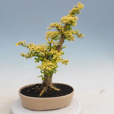 Izbová bonsai - Ligustrum Aurea - Vtáčí zob - 3