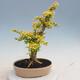 Izbová bonsai - Ligustrum Aurea - Vtáčí zob - 3/6