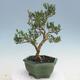 Izbová bonsai - Buxus harlandii - korkový buxus - 3/7