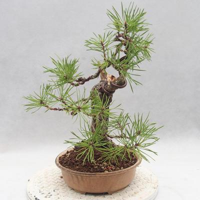 Vonkajšie bonsai - Pinus sylvestris - Borovica lesná - 3