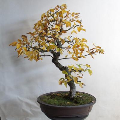 Venkovní bonsai - Javor jasanolistý - Acer negundo - 3
