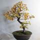 Venkovní bonsai - Javor jasanolistý - Acer negundo - 3/4