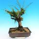 Yamadori Juniperus chinensis - jalovec - 3/5