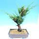 Yamadori Juniperus chinensis - jalovec - 3/6