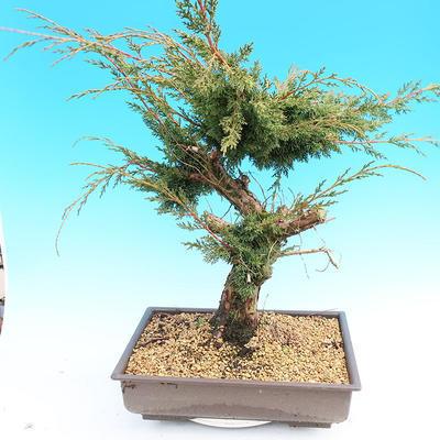 Yamadori Juniperus chinensis - jalovec - 3